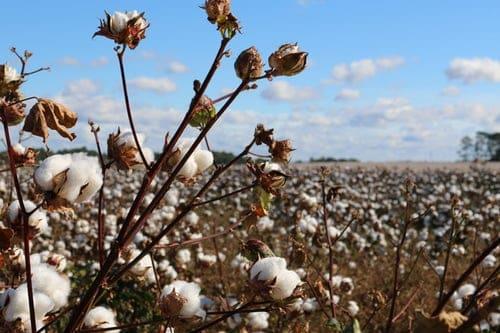 champ de coton