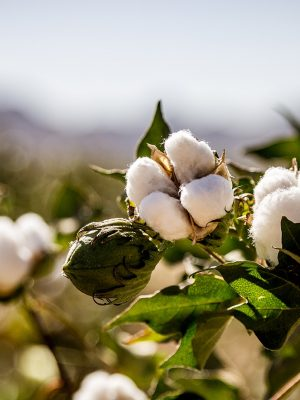 coton-fleur2